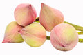 Pink budding lotus flowers Royalty Free Stock Photo