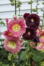 Pink and burgandy hollyhocks growing in yard Royalty Free Stock Photography