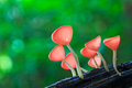 Pink burn cup or fungi cup tarzetta rosea rea dennis in the tropical forest Royalty Free Stock Photo