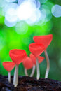 Pink burn cup or fungi cup tarzetta rosea rea dennis in the tropical forest Stock Photo