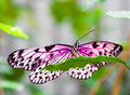 Pink butterfly on green leaf Royalty Free Stock Photo