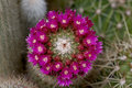 Pink cacti flower Royalty Free Stock Photography