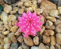 Pink cactus desert beautifulflower garden Royalty Free Stock Photo