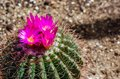Pink cactus flowers are blooming Stock Images