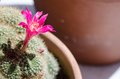 Pink cactus flowers are blooming Royalty Free Stock Images