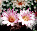 Pink cactus flowers and white flower with close up shot Stock Photos
