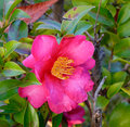 Pink Camelia Royalty Free Stock Photo