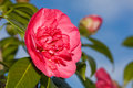 Pink camellia Royalty Free Stock Photo