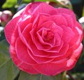 Pink Camellia in Bloom. Royalty Free Stock Photo