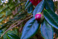 Pink Camellia Bud With Lush Fo...