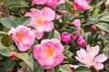 Pink camellia bush with flowers in bloom and buds Royalty Free Stock Photo