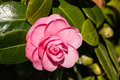 Pink camellia flower in bloom Royalty Free Stock Photo