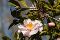 Pink camellia flower head
