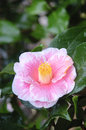 Pink camellia flower with and white colors Royalty Free Stock Photos
