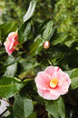 Pink camellia flower with and white colors Stock Photography