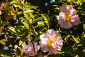 Pink camellia flowers in bloom Royalty Free Stock Photo