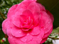 Pink Camellia with Morning Dew Royalty Free Stock Photo