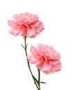 Pink carnation flower Royalty Free Stock Photo