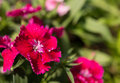 Pink Carnation Flowering In Th...