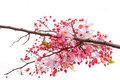 Pink cassia pink shower on branch isolate Stock Images