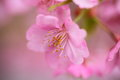 Pink cherry blossom Royalty Free Stock Photography
