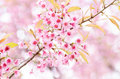 Pink cherry blossom beautiful in winter season chiangmai thailand Stock Photo