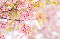 Pink cherry blossom beautiful in winter season chiangmai thailand Royalty Free Stock Image