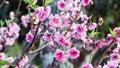Pink Cherry Blossom Flowers