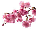 Pink cherry blossom sakura Royalty Free Stock Photo