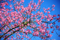 Pink cherry blossoms Royalty Free Stock Photo