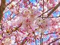 Pink Cherry Blossoms against blue sky Royalty Free Stock Photo