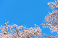 Pink cherry blossoms against clear blue sky. Royalty Free Stock Photo