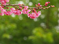 Pink Cherry Blossoms and Green Background Royalty Free Stock Photo