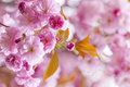 Pink cherry blossoms in spring orchard blossom flowers on flowering tree branch blooming with copy space Stock Photography