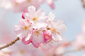 Pink cherry flower blossom detail closeup of a branch on with distant soft background Stock Images