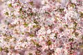 Pink cherry tree blossoms in spring Royalty Free Stock Photo