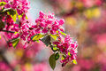 Pink cherry tree flowers blossom close up in spring Royalty Free Stock Photo