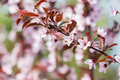 Pink cherry tree flowers blossom close up in spring Royalty Free Stock Photos