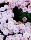 Pink chrysanthemum. Beautiful autumn flower in a garden decor. Floral background for design. Royalty Free Stock Photo