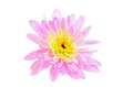 Pink chrysanthemum flower isolated white background Royalty Free Stock Images
