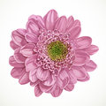 Pink chrysanthemum flower isolated on white background Stock Photos