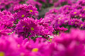 Pink Chrysanthemum Flower. Shallow Depth Of Field. Stock Images