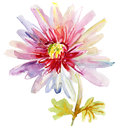 Pink chrysanthemum flower watercolor painting Royalty Free Stock Photos