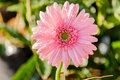 Pink Chrysanthemum Flowers Mac...
