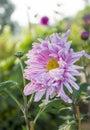 Pink chrysanthemum in full bloom sun backlighting irradiation Royalty Free Stock Photography