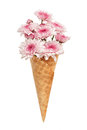 Pink chrysanthemum ice cream cone flower beautiful fresh Royalty Free Stock Photo