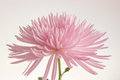 Pink chrysanthemum isolated detail of flower on white Stock Photos