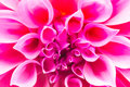 Pink Chrysanthemum Petals Royalty Free Stock Photos