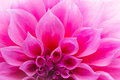 Pink Chrysanthemum Petals Stock Photography