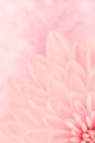 Pink chrysanthemum petals macro shot Stock Images